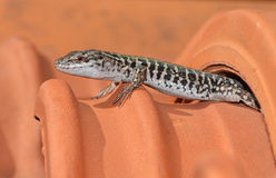 Lizard portrait Royalty Free Stock Image