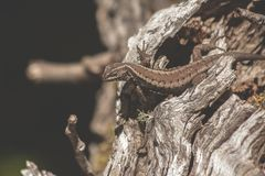 Lizard Portrait Outdoor in the Forest royalty free stock images