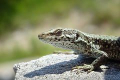 Lizard. Portrait of a lizard on a rock royalty free stock photography