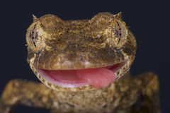 Lizard portrait / Uroplatus guentheri Royalty Free Stock Images
