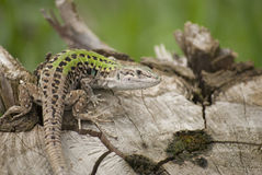 Lizard. Portrait of lizard on wood Royalty Free Stock Photos
