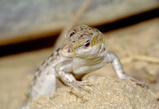 Lizard posing. A small lizard posing over some sand. The focus is on the head Stock Photography