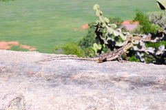 Lizard posing on a wall Stock Images