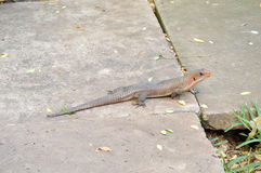 Lizard posing on a wall Royalty Free Stock Image