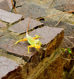 A lizard posing on a wall in the tropics Stock Images
