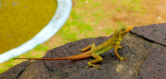A lizard posing on a wall in the tropics Stock Photography
