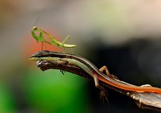Lizard and Praying Mantis. Praying mantis stand on a lizard head Royalty Free Stock Image