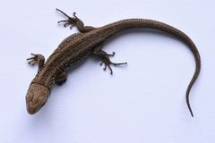 Lizard, predator, hunting, reptiles, salamander, leather goods, hunting, problem skin, changing appearance, growing parts of the b. Ody, medicine, isolate, white Royalty Free Stock Photography
