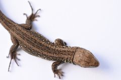 Lizard, predator, hunting, reptiles, salamander, leather goods, hunting, problem skin, changing appearance, growing parts of the b. Ody, medicine, isolate, white Royalty Free Stock Image