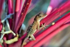 Lizard. A pretty common lizard I was able to get close to taken in Quintana Roo, Mexico Royalty Free Stock Photos