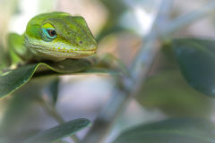 Lizard on the prowl. Lizard stocking enviroment for food Royalty Free Stock Photography