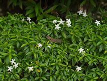 A lizard on Psilanthus bengalensis or Paracoffea. A kind of shrub found in Thailand and India stock photography