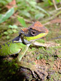Lizard in rain forest Stock Image