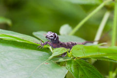 Lizard in the rain forest Stock Images