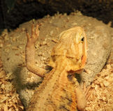 Lizard raises a paw with long nails Stock Photo