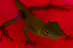Lizard on a red Royalty Free Stock Photography