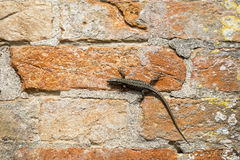Lizard on a red brick wall Royalty Free Stock Photos