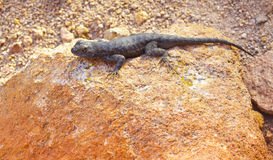 Lizard on Red Rock Stock Photography