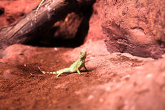 The lizard on red sand Royalty Free Stock Photo