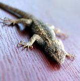Lizard on red wood. Lizard walking on red wood Royalty Free Stock Images