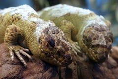 Lizard Reflection Stock Image