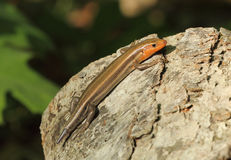 Lizard with regenerating tail. Male five-lined skink with regenerating tail Royalty Free Stock Photo