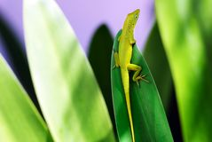 Lizard relaxing stock photography