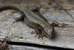 Lizard, reptile, animal, nature, wildlife, animals, wild, tail, green, macro, reptiles, isolated, brown, close-up, eye, stone, gec. A small lizard in the garden stock photos