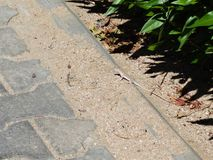 Lizard reptile animal sand nature royalty free stock photography