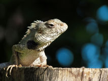 Lizard reptile basking in sunlight Royalty Free Stock Photography