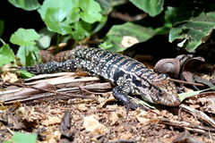 Lizard Reptile. Brazil wildlife nature Royalty Free Stock Images