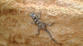 Lizard reptile in the desert stock footage
