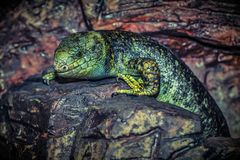 Lizard, Reptile, Green, Animal Royalty Free Stock Images