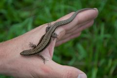 lizard reptile on the hand stock photos