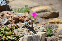 Lizard (reptile) sitting on the stone near pink fl Royalty Free Stock Photos