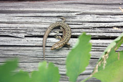 Lizard reptile on a wooden board. Royalty Free Stock Photo