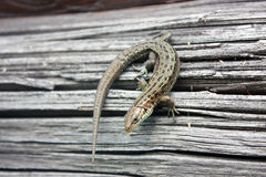 Lizard reptile on a wooden board. Stock Photography