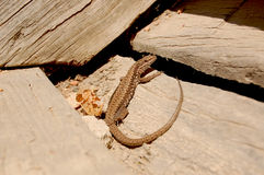 Lizard. Reptile on Wooden Stairs Royalty Free Stock Images