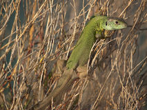 Lizard resting Royalty Free Stock Photos