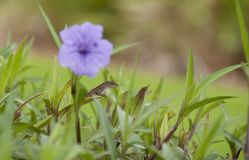 Lizard Hiding Among Purple Flowers. Lizard resting on a blade of grass among the purple flowers in a farmer`s field in Ellijay Georgia royalty free stock image
