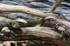 Lizard resting on a branch Royalty Free Stock Photography