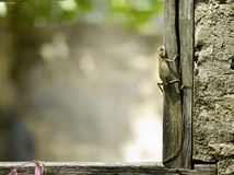 Lizard on a Window Frame Royalty Free Stock Image