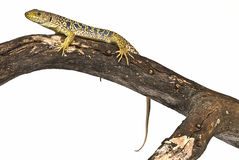 A lizard resting on a dead branch. Stock Images