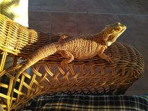 Lizard. Resting in the eavening light of a sunset stock photography