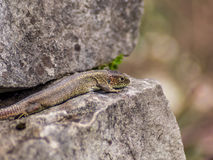 Lizard resting in the first Spring day  Royalty Free Stock Photos