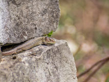 Lizard resting in the first Spring day  Stock Images