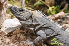 Lizard resting Stock Image