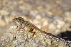 Lizard resting on a rock Royalty Free Stock Photos