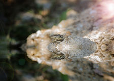 The lizard resting on a rock Stock Image