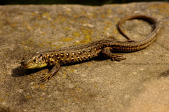 Lizard resting on stone Royalty Free Stock Photos